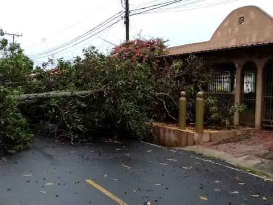 Lluvias de media tarde causan caída de árboles y voladuras de techos