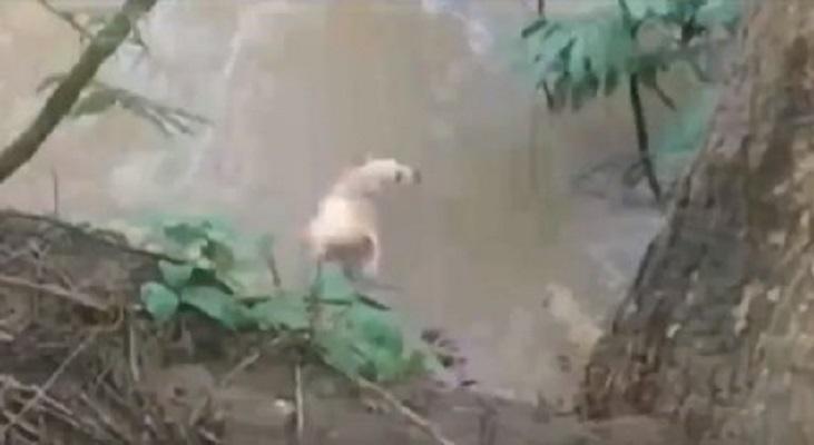 Fiscalía de Herrera investiga video que capta cuando lanzan a un perro para ser devorado por un reptil