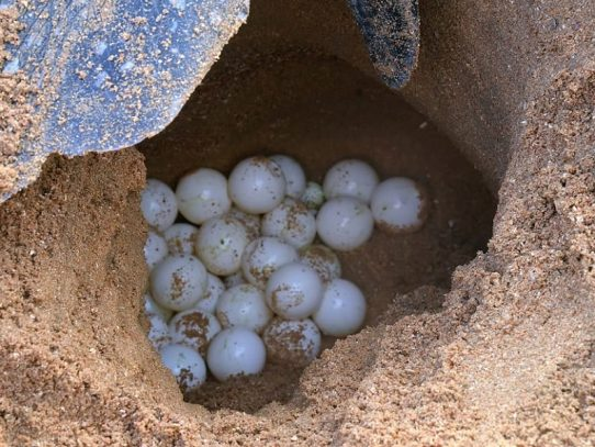 Huevos de tortuga de Panamá son un riesgo de salud por contaminación