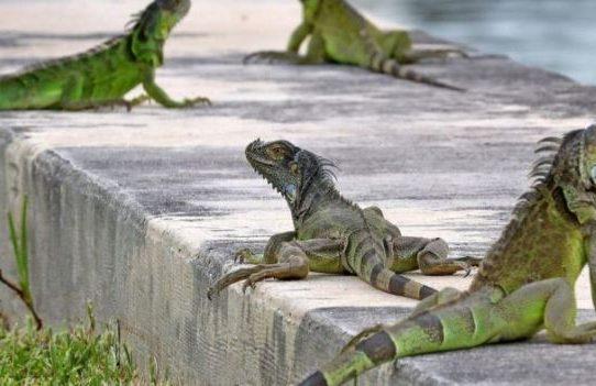 Autoridades de Florida piden a los residentes: ¡Maten a las iguanas!