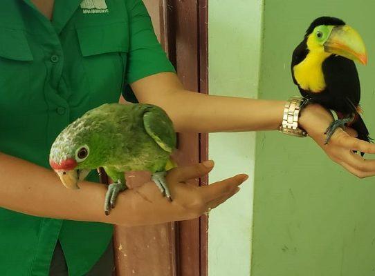En Chiriquí se han rescatado 87 animales silvestres durante la pandemia