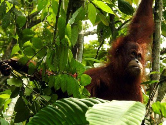 El virus retrasa el anhelado regreso de los orangutanes a casa