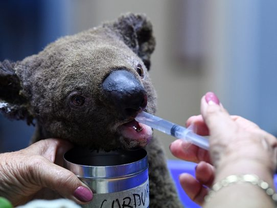 Incendios en Australia matan a la mitad de los koalas clave para su supervivencia