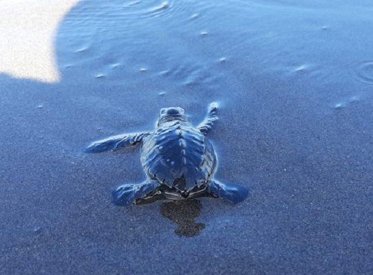 Liberan 362 neonatos de de tortuga lora en La Barqueta