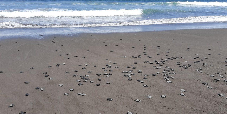 Encuentran 337 huevos de tortugas Lora en recorrido por área protegida en Chiriquí