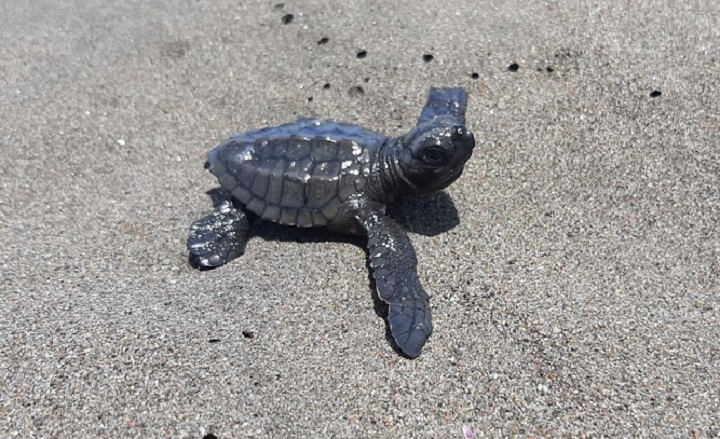 Liberan mil 801 neonatos de tortuga lora en el Refugio de Vida Silvestre La Barqueta