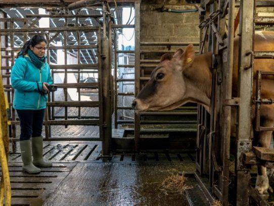 El negocio de los eructos: los científicos detectan ganancias en las emisiones de las vacas