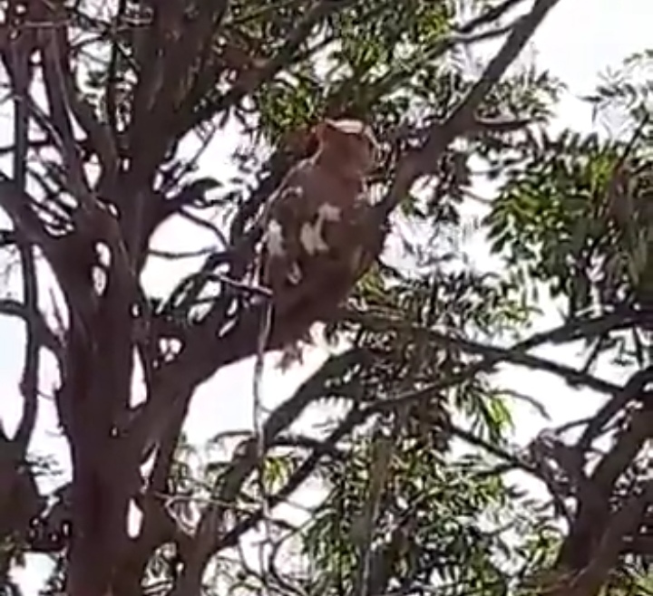 Monos hurtan muestras de sangre tomadas para detectar COVID-19 en India