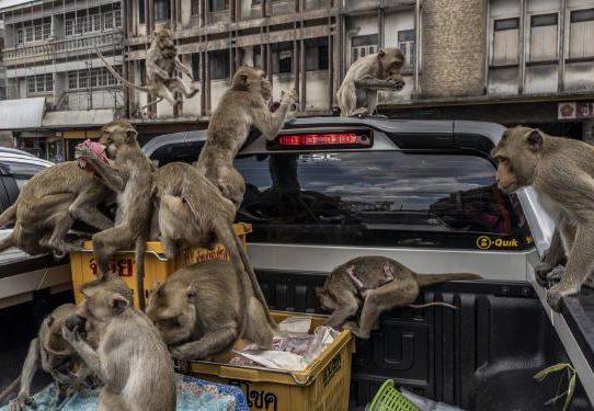 Estos monos alguna vez fueron venerados; ahora están tomando el control