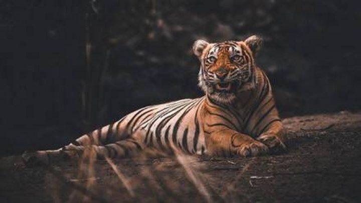 Tigresa de zoológico en Nueva York da positivo por Covid-19