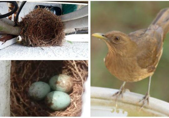 Tres pichones crecen en un nido en la ventana de un apartamento de El Crisol