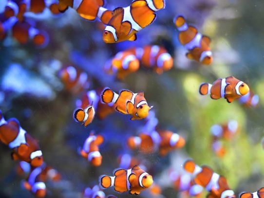 La contaminación lumínica amenaza la eclosión de los peces payaso