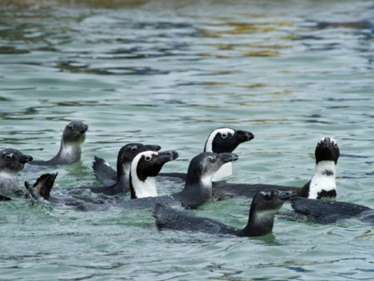 Video prueba la 'solidaridad' de pingüinos de El Cabo con aves marinas