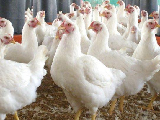 Dejen de besar a los pollos, piden las autoridades sanitarias de EE.UU