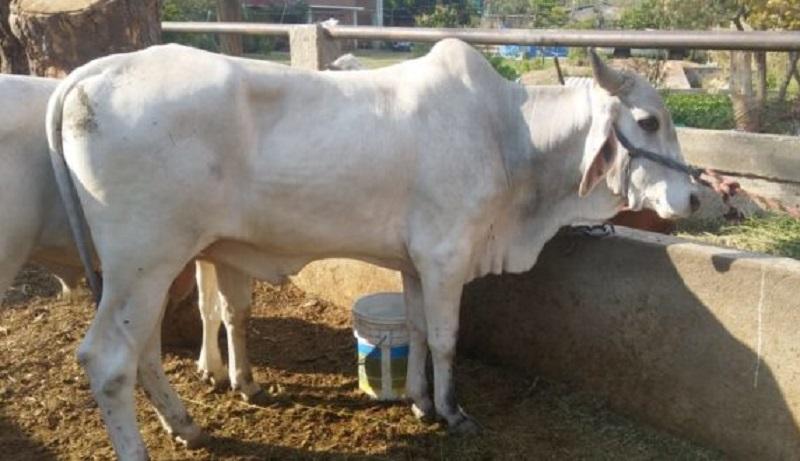 MIDA establece cordón zoosanitario ante brote de rabia bovina