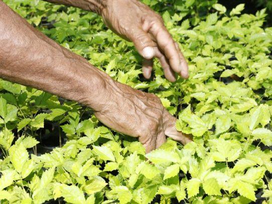 MiAmbiente celebrará el Día Nacional de la Reforestación el sábado 27