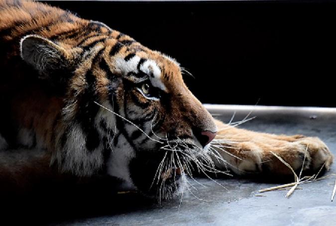 Cinco tigres rescatados en pésimo estado encuentran refugio en España