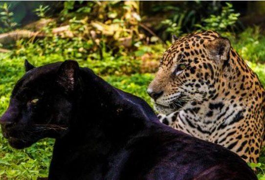 Donarán $2 millones a Panamá para la conservación de felinos