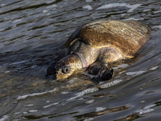 Amenazadas tortugas paslama arriban a las costas de Nicaragua