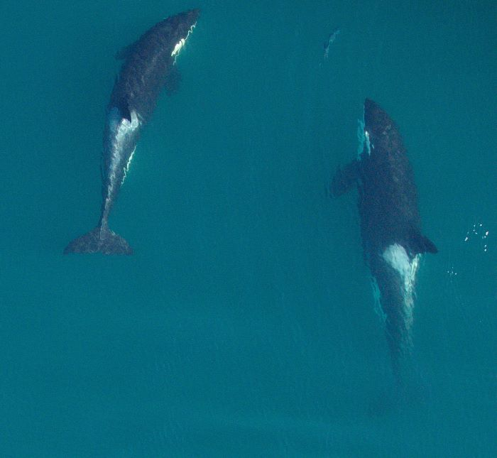 Así es, las orcas también se benefician del amor de las abuelas