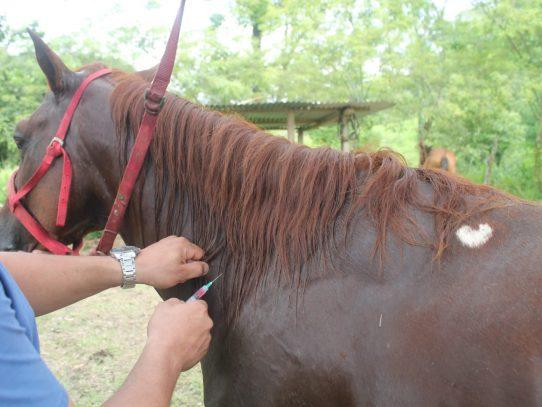 Mida investiga 4 casos sospechosos de encefalitis en equinos en Darién