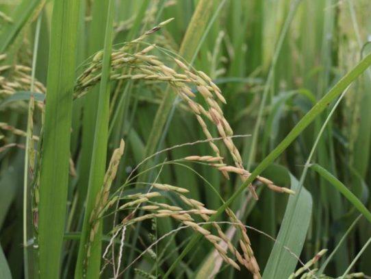 IMA desembolsará pago pendiente para beneficiar a 24 productores de arroz