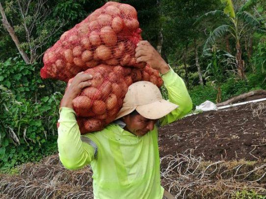 Comarca Ngäbe-Buglé cosecha papas por primera vez