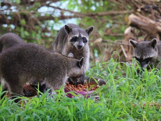 Alimentar a los mapaches, los pone en peligro
