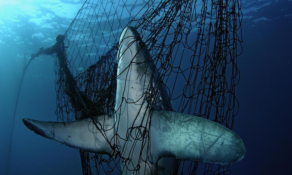 Más de un tercio de las especies de tiburones bajo amenaza, advierte la UICN