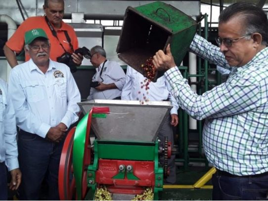 Mida estima producción de más de 68 mil quintales de café con inicio de zafra